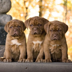 "Cuccioli di ""Dogue de Bordeaux"""
